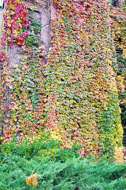 wall of leaves changing into fall colors